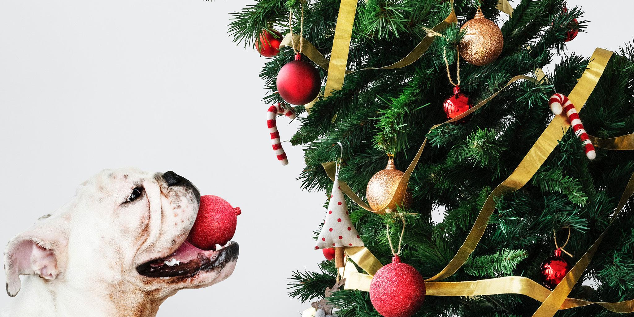 Hond met een kerstbal in de mond kijkend naar een kerstboom