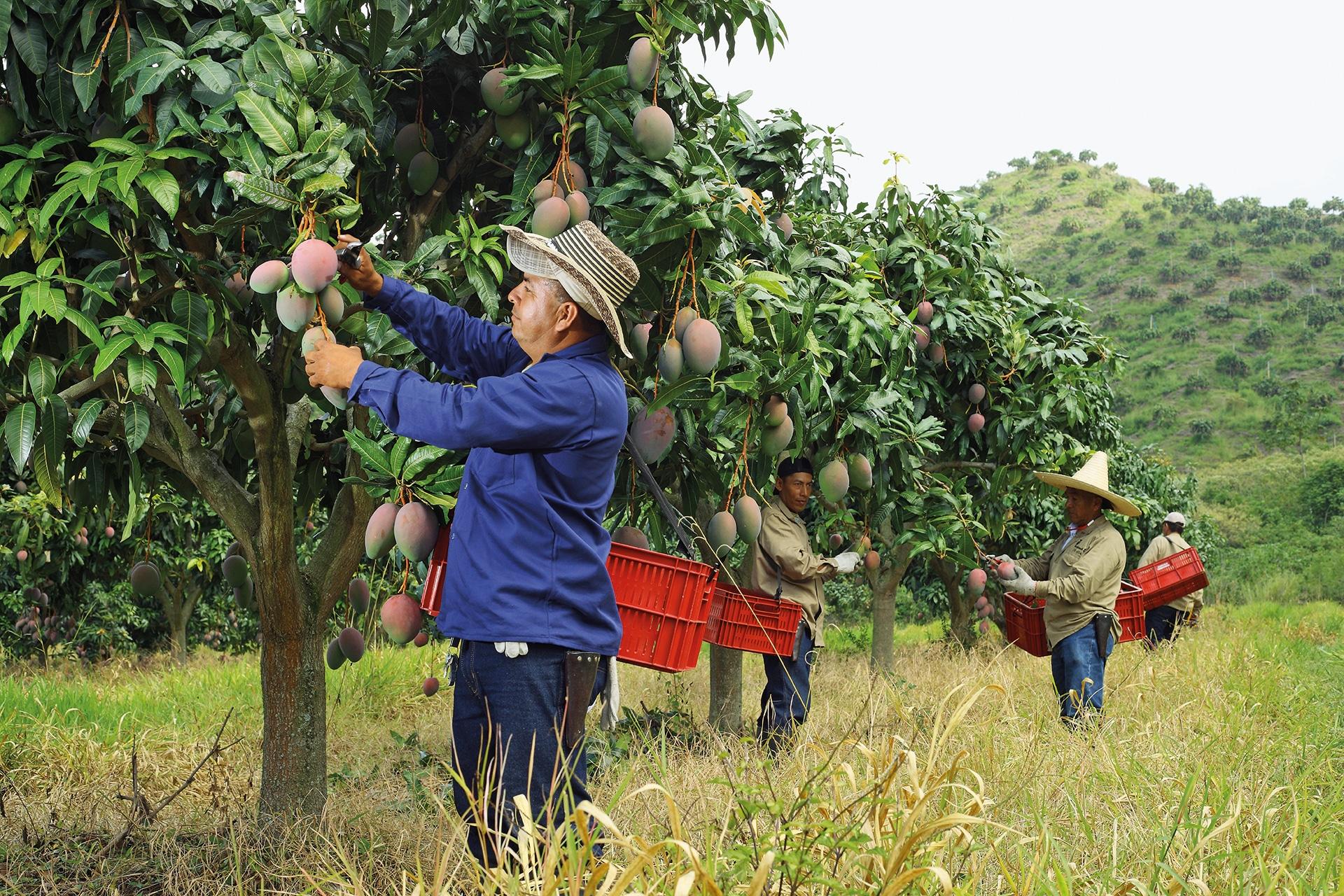 Greenyard Mango orchard
