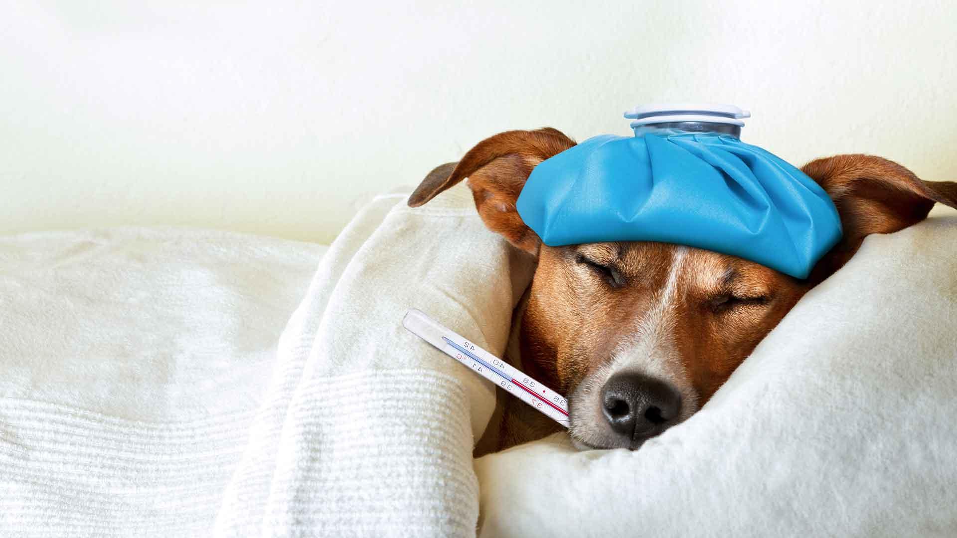 Un chien malade au lit avec un thermomètre dans la bouche et une couverture autour de lui