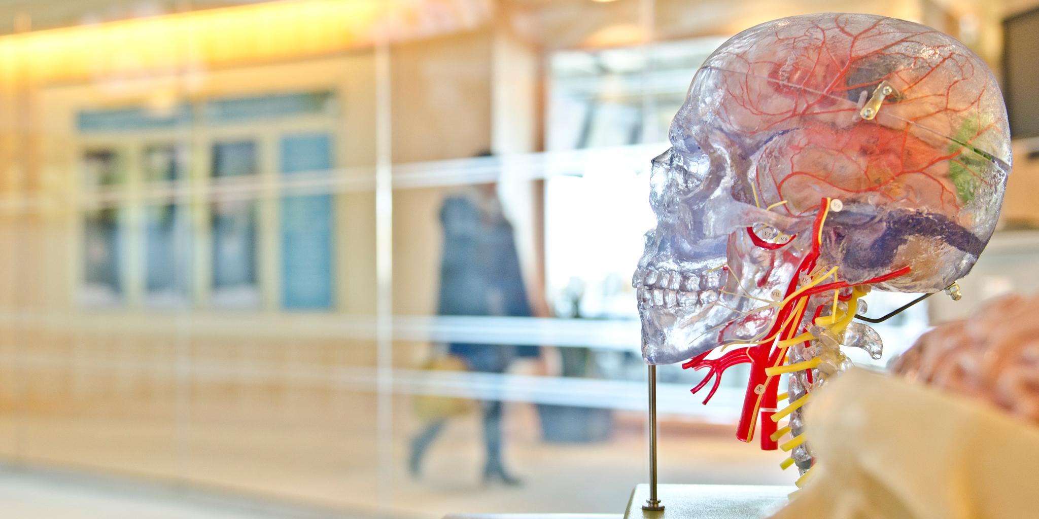 squelette humain dans un musée